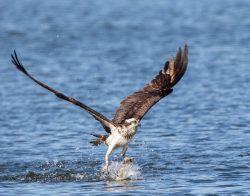 Find Osprey while Birding on Alabama's Gulf Coast