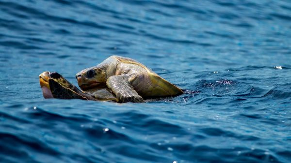 sea turtle nesting season Fort Morgan