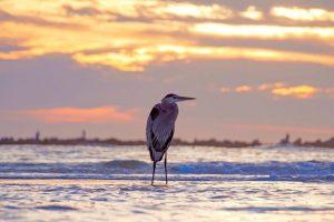 bird watching in gulf shores