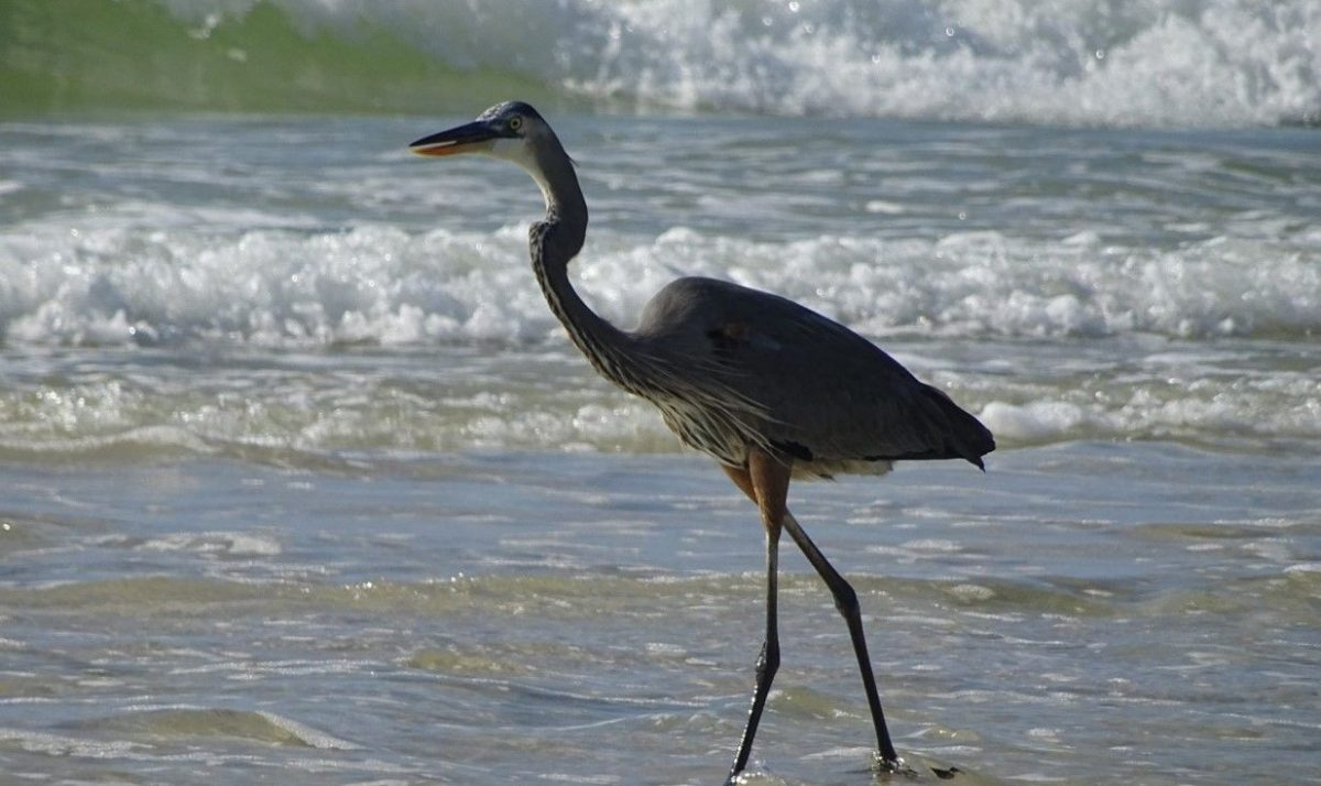 One of the most popular things to do in coastal Alabama is birdwatching, as there are plenty of species to see. You'll love this unique hobby on our shores.
