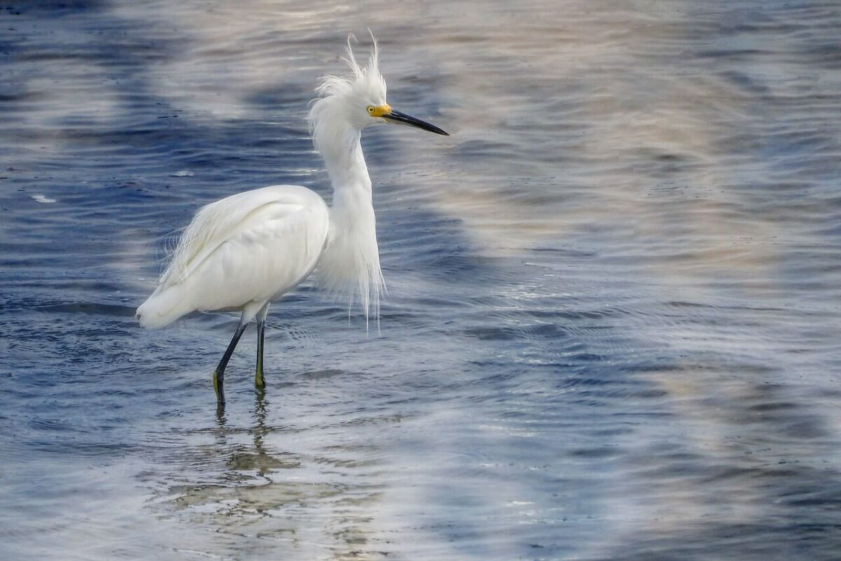 egret in the water