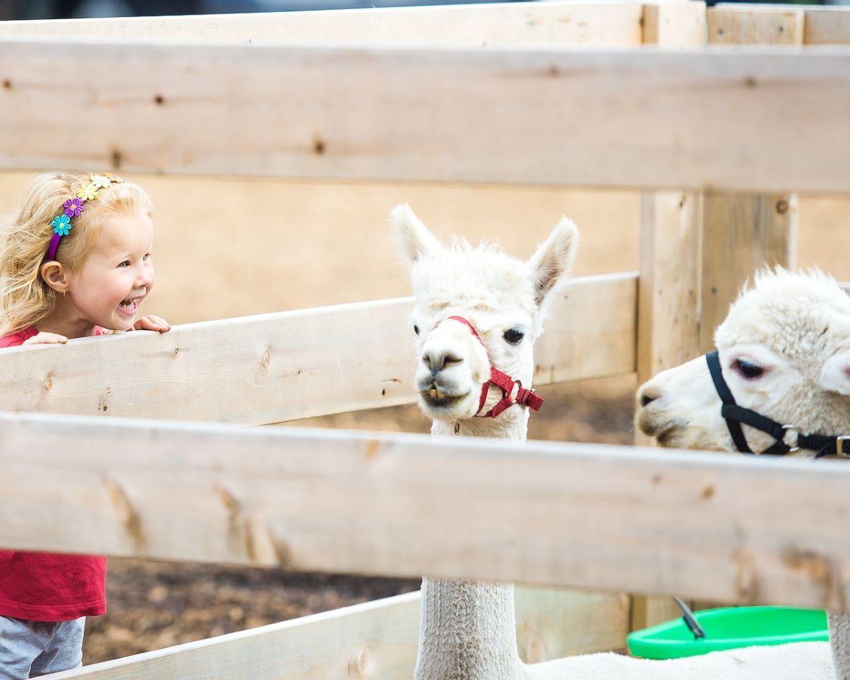 girl looking at llamas