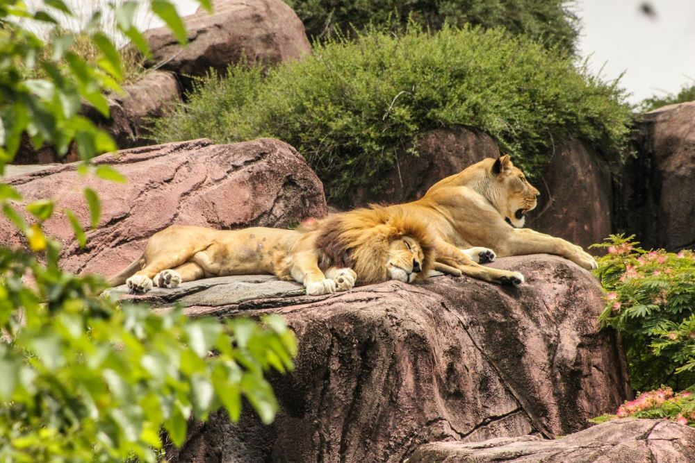 lions on a rock